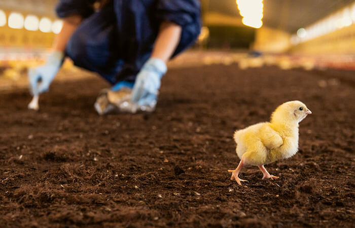 Chicken in the barn