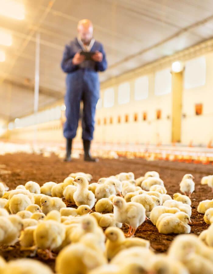 Chicken farm in east westphalia