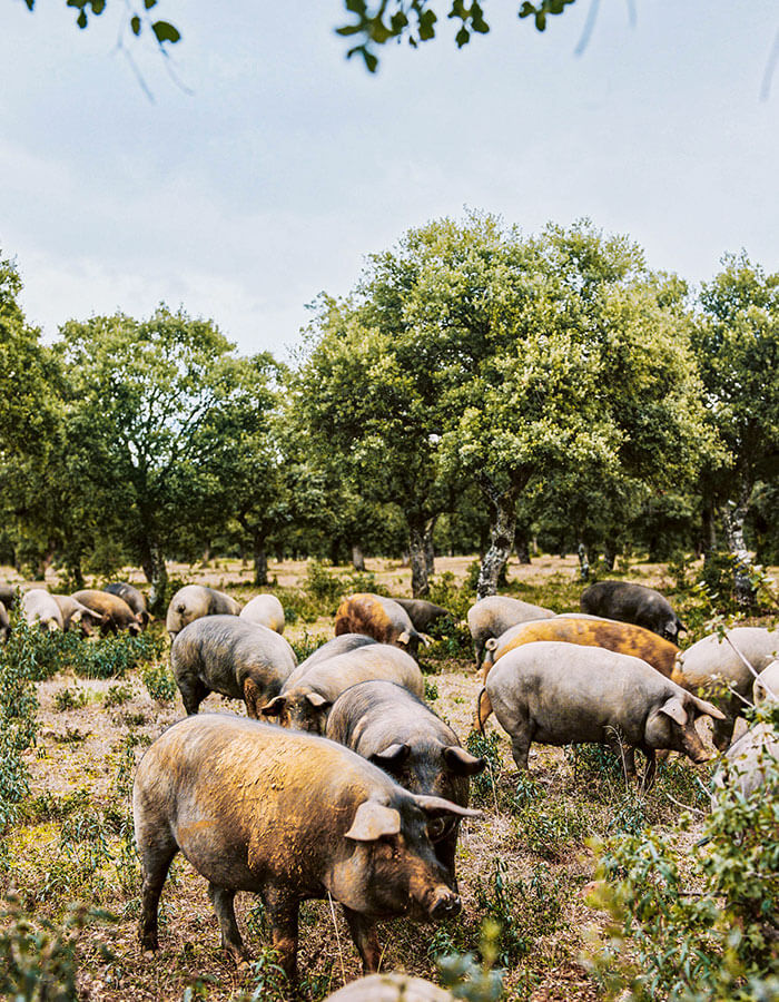 Iberian pigs in free range