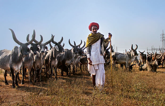 Indian cattle farmer with cattle