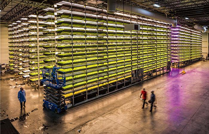 Vegetable cultivation under LED-lights